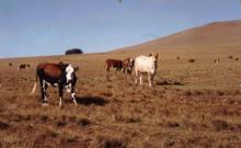 L'allevamento del bestiame all' Isola di Pascua